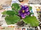 LE-Astreya開第二朵花