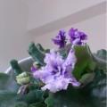 violet2014 jul