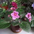 我的非洲紫羅蘭
