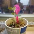 花友分享 - 苦苣苔