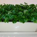 種子盆栽(柚子)