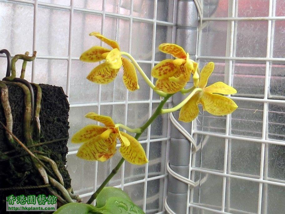 Phal. mannii fma flava x Phal. startiana fma yellow -b 28 Mar 2015.jpg