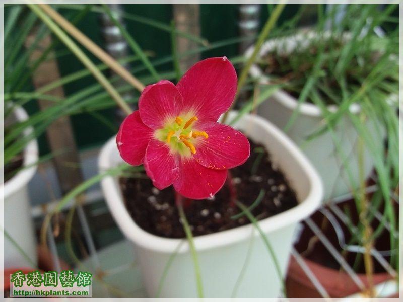 Zephyranthes katherinae 'Jacala Red'-2017-010.jpg