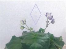 二小姐又再玩變臉......new violet2013